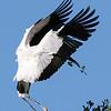 Wood Stork Landing at Nest with Building Matrial, St Augustine Alligator Farm, FL