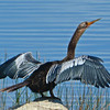 Anhinga drys its feathers after diving for fish.