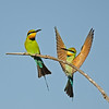 2 Rainbow Bee-eaters, The Spit, Qld.