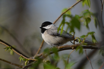 Chickadee Among Emerging Leaves