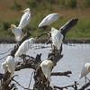 Bubulcus ibis ibis – Western Cattle egrets 2