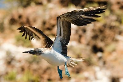 Blue Footed Bobbi Baja CA, Mexico.