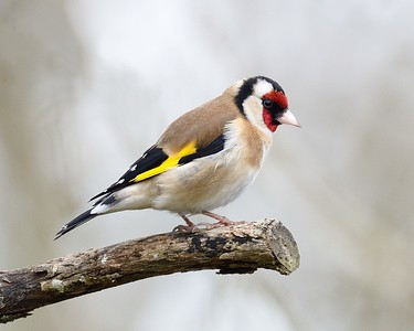 Goldfinch close up