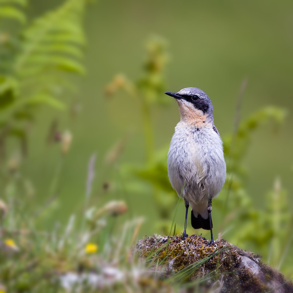 Northern wheatear / Oenanthe oenanthe / Tapuit