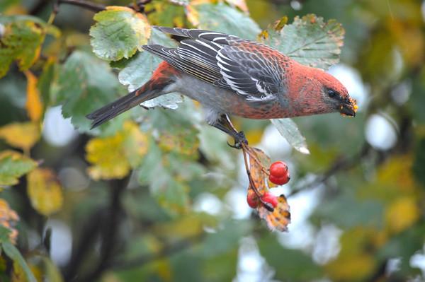 Pine Grosbeak, Male