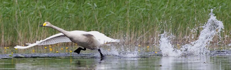 Whooper swan launching from lake Jääsjärvi