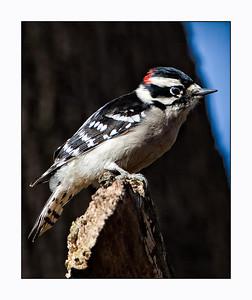 Downy Woodpecker (Picoides pubescens) Male