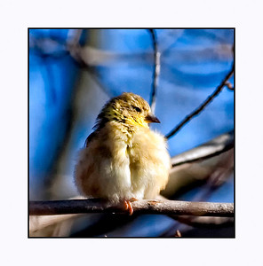 American Goldfinch (Winter Male) (Carduelis tristis)