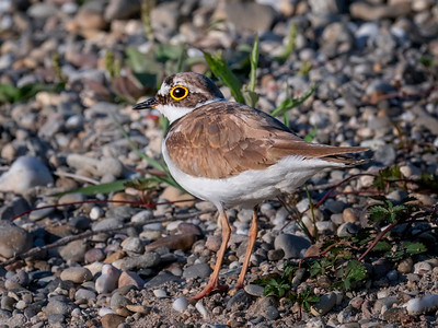 Little ringed plover ♂