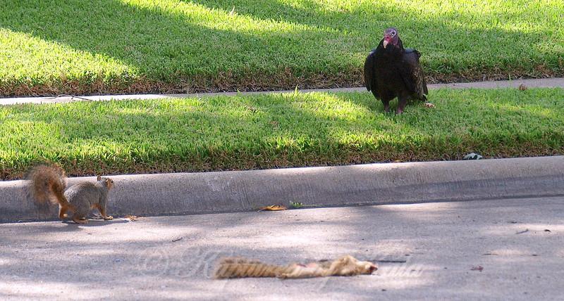 Turkey Vulture & Bold Squirrel