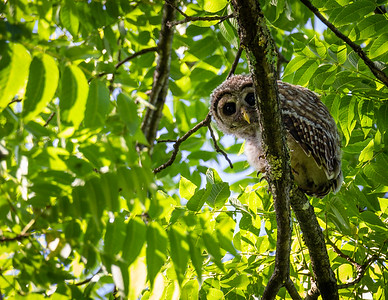Juvenile Barred Owl at Great Falls Park
