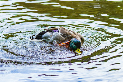 Mallard Duck determined to wash his neck!