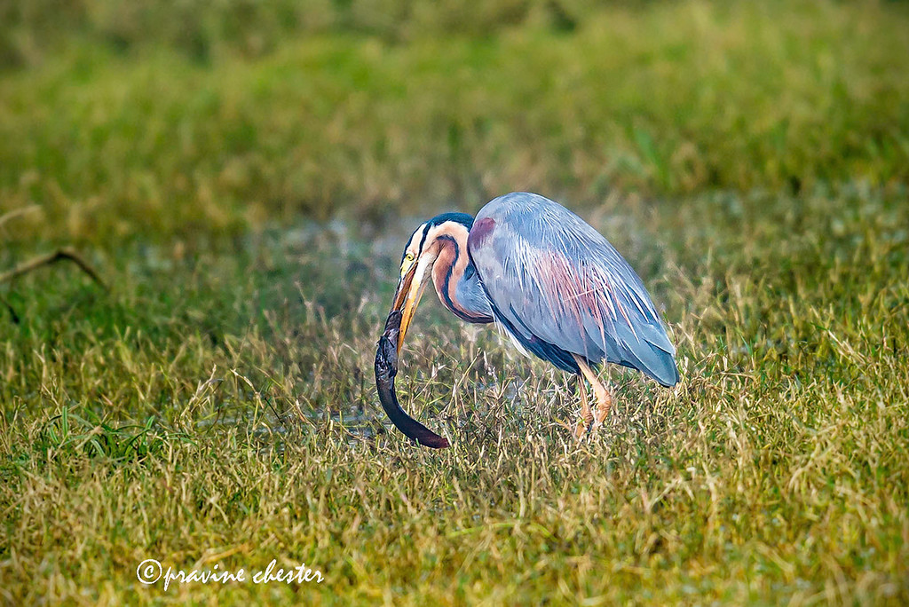 Purple Heron Feeding