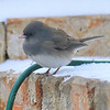 Junco Thinking About Getting A Drink