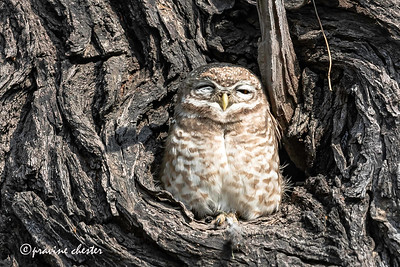 Owl on a tree