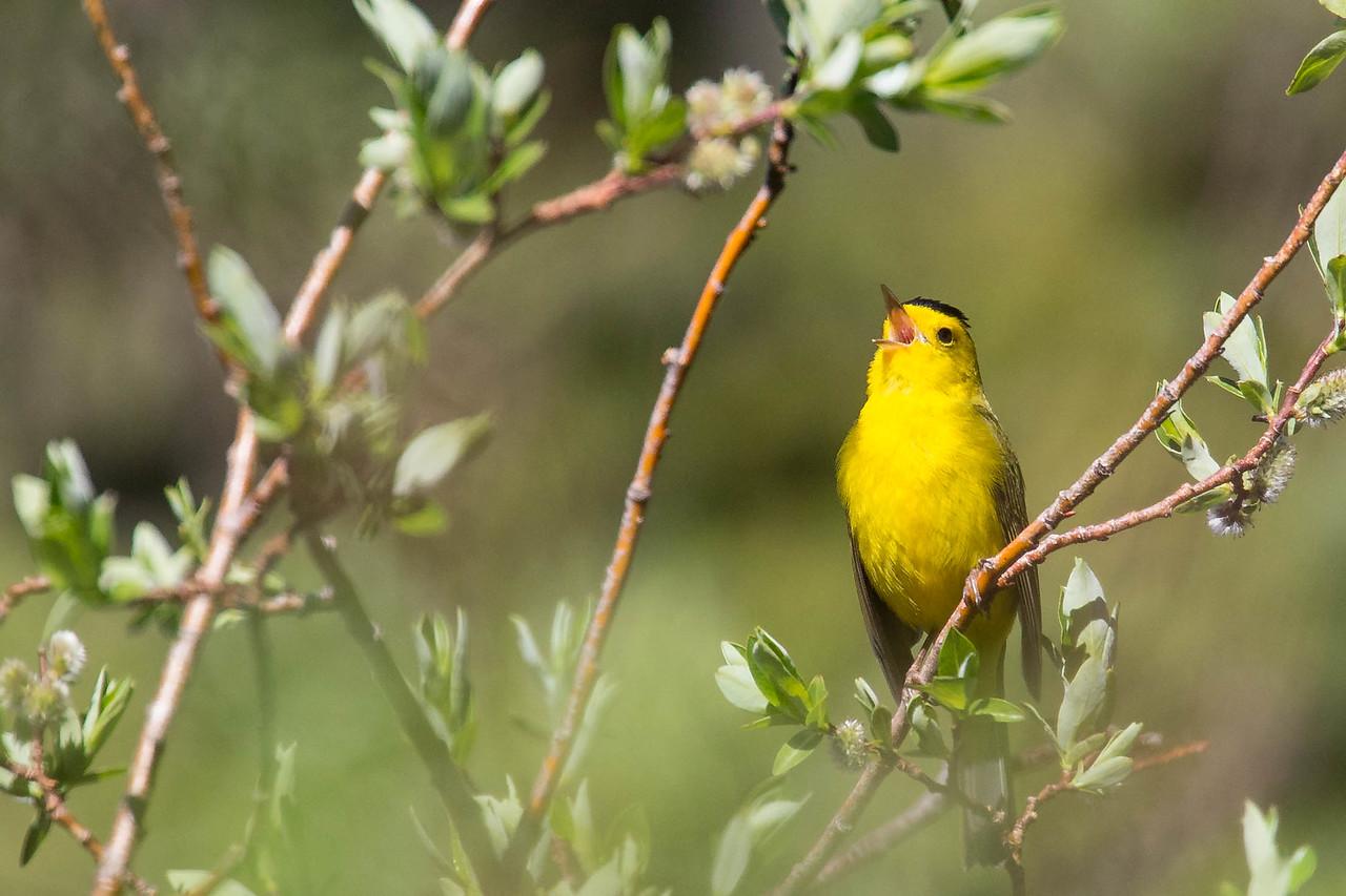IMAGE: https://photos.smugmug.com/Birds/i-fwFbJZz/0/609bcbd8/X2/AO0O7606-X2.jpg