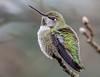 Fluffy little Anna's Hummingbird.
