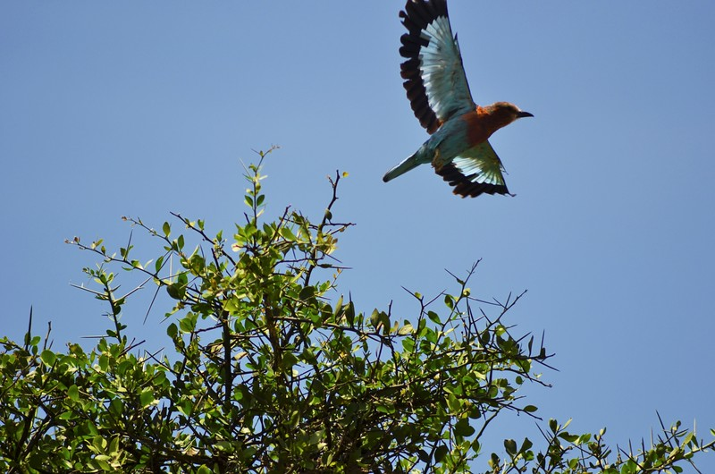 Bee Eater Taking Off