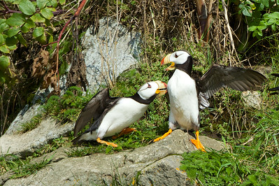 Horned Puffins, Duck Island, AK