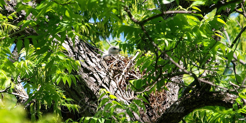 Baby Red-shouldered Hawk View 1