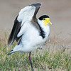 Masked Lapwing, The Broadwater,