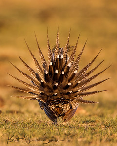 Male Greater Sage Grouse (from behind) Wyoming