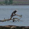 Bald Eagle View 3