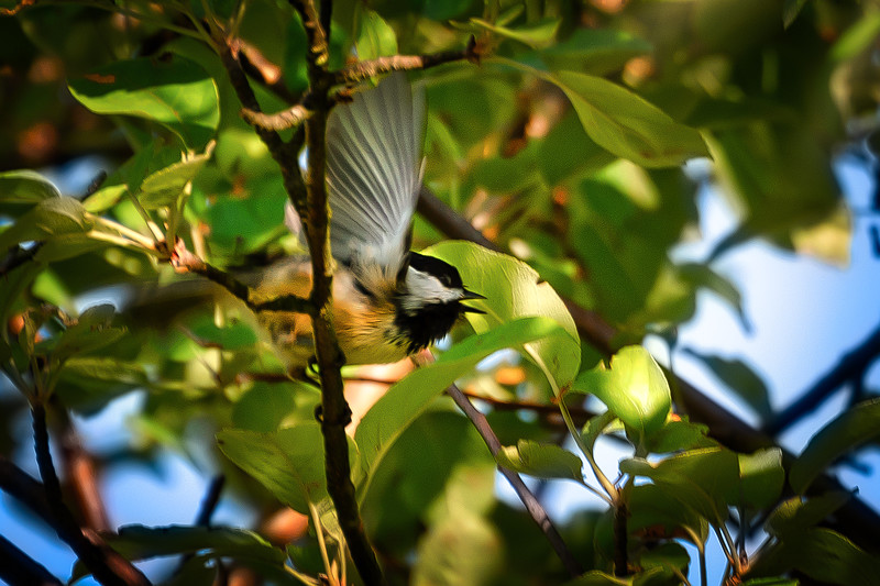 Chickadee In Apple Tree