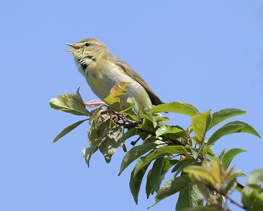 Willow Warbler at Greenham - idendified by song