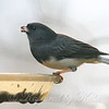 Unusual Tail On A Male Junco
