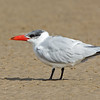 Caspian Tern, Unnamed Island, The Broadwater, Gold Coast, QLD.