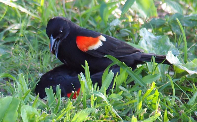 Red-winged Blackbird Death Match 22