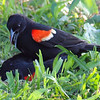 Red-winged Blackbird Death Match 22