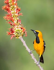 Hooded Oriole on Ocotillo