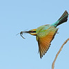 Rainbow Bee-eater in flight with a Dragonfly, The Federation Walk Nature Reserve, Gold Coast. Qld..