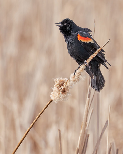 Red-winged blackbird in a Minnesota marsh