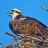 Osprey on its nest calls out to its mate.