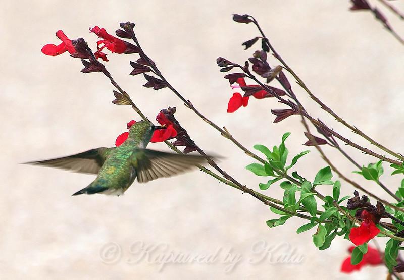 White Rock Lake Hummingbird View 2