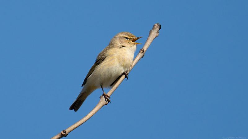 ChiffChaff at Speen - First Bird Pic of 2021