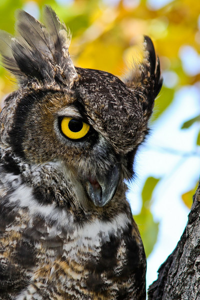 Great horned owl. This owl had been injured and was in a rehab facility.