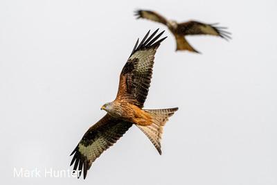 Red Kite Turning