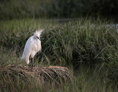 Snowy Egret (bad hair day)