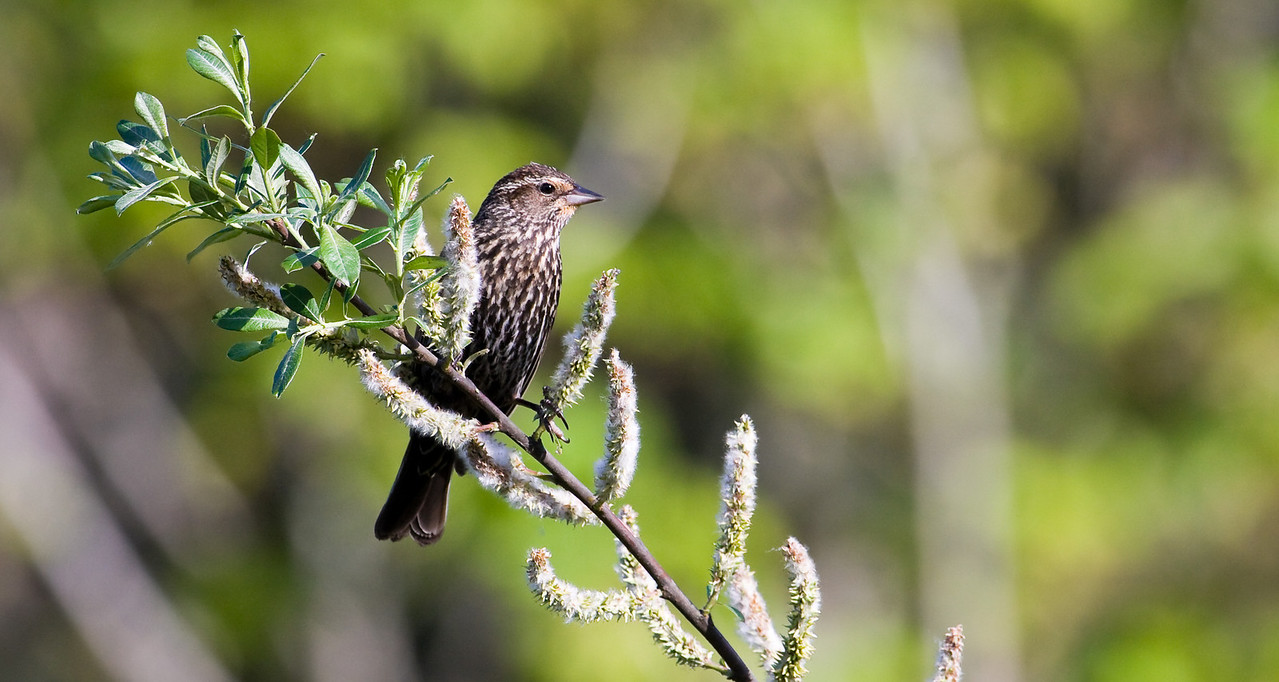 Red-Winged Blackbird, female (Agelaius phoeniceus).