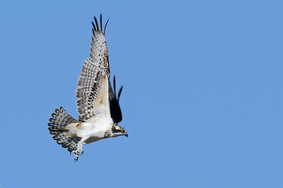 This osprey had just taken off from a next box that some friends showed me.