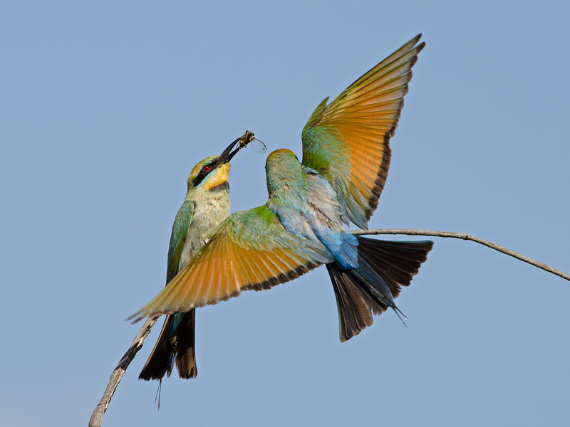 2 Rainbow Bee-eaters, Federation Walk, Gold Coast, Queensland.