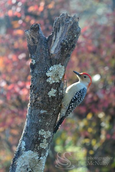 Flicker Woodpecker Bird Picture