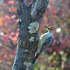 Flicker Woodpecker Bird
