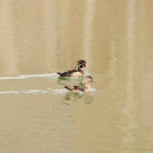 Anatidae -  Aix sponsa - Wood duck Grundy Lakes Stater Park, TN
