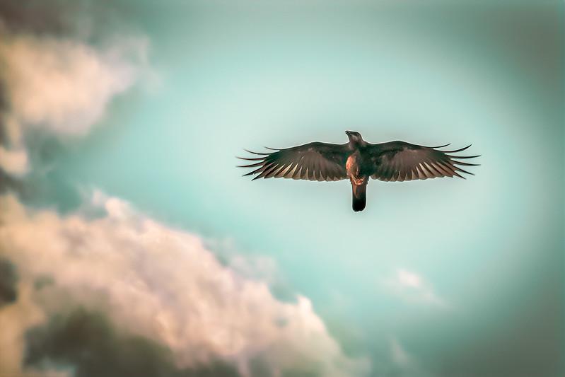 Crow Soaring