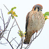 Pretty Female Kestrel